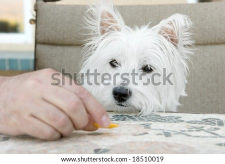 concentration - westie staring longingly at cracker - stock photo