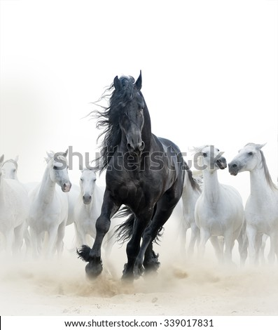 Concept: Black frisian stallion running with the herd of white horses on the background - stock photo
