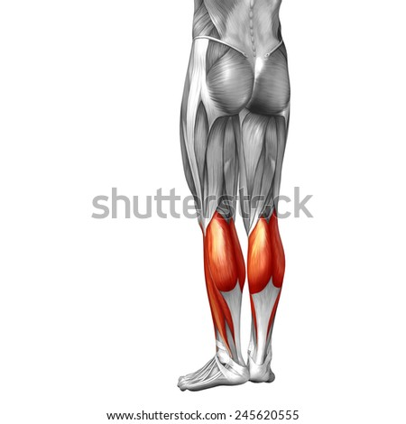 Concept conceptual 3D back lower leg human anatomy or anatomical muscle isolated on white background, metaphor to body, tendon, fit, foot, strong, biological, gym, fitness, skinless, health or medical - stock photo
