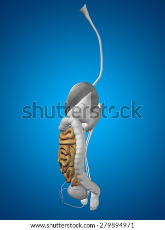 Concept conceptual 3D human or man anatomy of intestine organ and digestive system on blue gradient background, metaphor to biology, education, care, digestion, body, health, medical or digestion - stock photo