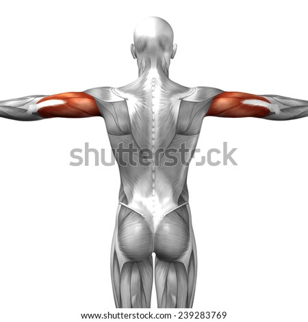 triceps brachii stock images, royalty-free images & vectors, Sphenoid