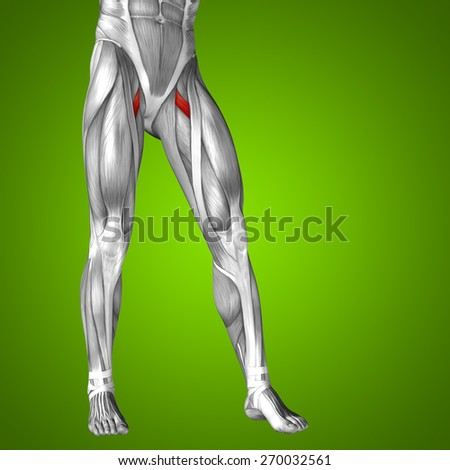 Concept conceptual 3D upper leg human anatomy or anatomical muscle isolated on green gradient background metaphor to body, tendon, fit, foot, strong, biological, gym, fitness, skinless, health medical - stock photo