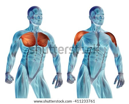 Concept 3D chest human anatomy or anatomical and muscle set collection isolated on white background metaphor to body, tendon, spine, fit, abs, strong, biological, gym, fitness, skinless health medical