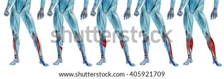 Concept 3D human lower leg anatomy anatomical and muscle set or collection isolated on white background metaphor to body, tendon, fit, foot, strong, biological, gym, fitness, skinless, health medical
