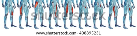 Concept 3D human upper leg anatomy or anatomical and muscle set collection isolated on white background metaphor to body, tendon, fit, foot, strong, biological, gym, fitness, skinless, health medical