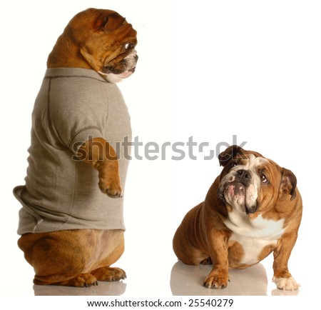 concept of being reprimanded by a parent - english bulldog with guilty expression looking up at another - stock photo