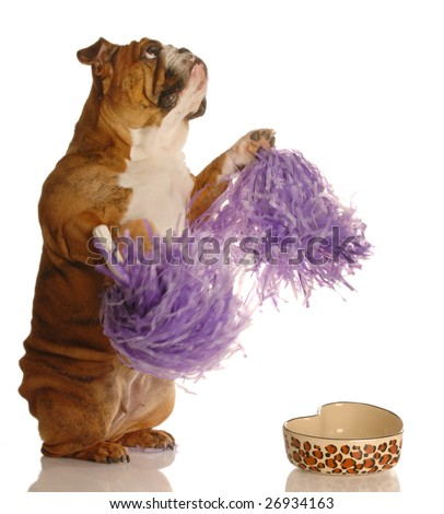concept of dog begging to be fed - english bulldog cheering for more food - stock photo