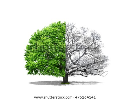 Concept of doubleness. One part of tree is snowy, and the second is deciduous on a white background. Concept of regeneration.