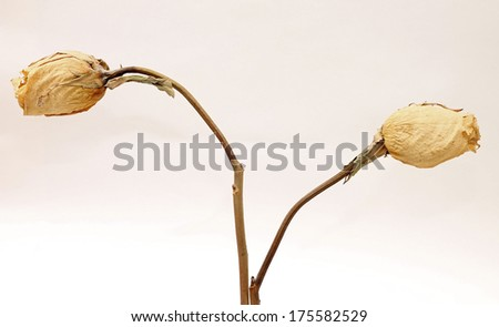 Concept of dying love - dried white roses, close-up - stock photo