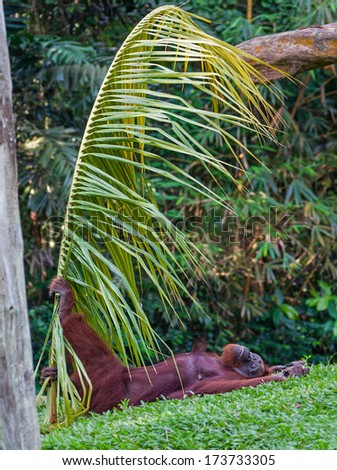 Concept of relaxation. Orangutan relaxes on the grass holding a palm branch.  Canon 5D Mk II.