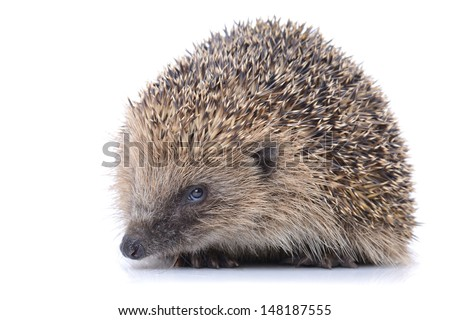 Concept of security a cute hedgehog isolated on white background