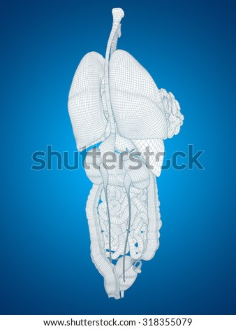 Concept or conceptual anatomical human man, 3D abstract wireframe mesh digestive system on blue  background, for anatomy, medical, body, stomach, medicine, heart, biology, internal, care or digest - stock photo