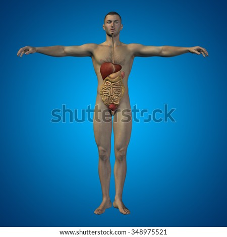 Concept or conceptual anatomical human or man 3D digestive system on blue background metaphor to anatomy, medical, colon, liver, body, stomach, medicine, intestine, biology, internal digest - stock photo