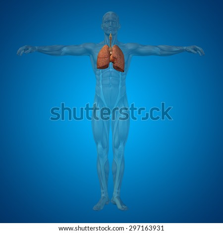 Concept or conceptual anatomical human or man 3D respiratory system on blue background metaphor to biology, health, respiration, pulmonary, healthy, disease, breathe, thorax - stock photo