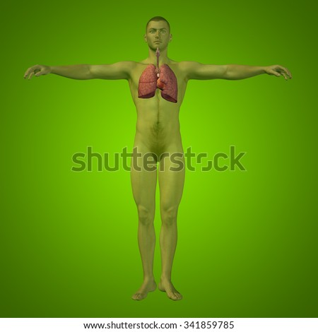 Concept or conceptual anatomical human or man 3D respiratory system on green background metaphor to biology, health, respiration, pulmonary, healthy, disease, breathe, thorax