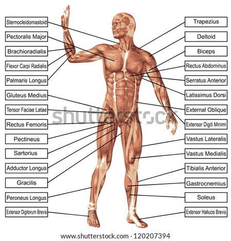 Concept conceptual 3 d human anatomy muscle stock illustration concept conceptual 3 d human anatomy muscle stock illustration 120207394 shutterstock ccuart