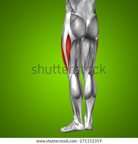 Concept or conceptual 3D human upper leg anatomy or anatomical and muscle on green gradient background metaphor to body, tendon, fit, foot, strong, biological, gym, fitness, skinless, health medical - stock photo