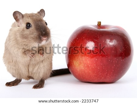 Concept photo of a rodent by healthy red apple, isolated on white, macro with copy space - stock photo