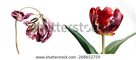 Concept Shot with Fresh and Withered Tulip Flower as a Concept of Aging and Decay - stock photo