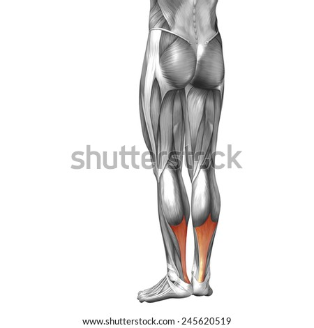 Conceptual 3D achilles tendon leg human anatomy or anatomical muscle isolated on white background, metaphor to body, tendon, fit, foot, strong, biological, gym, fitness, skinless, health or medical - stock photo