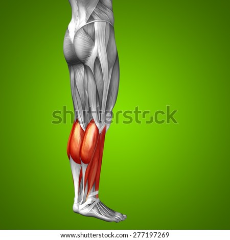 Conceptual 3D gastrocnemius human lower leg anatomy or anatomical muscle on green gradient background metaphor to body, tendon, fit, foot, strong, biological, gym, fitness, skinless, health or medical - stock photo