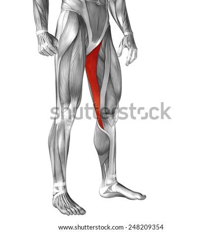 Conceptual 3 D Gracilis Human Upper Leg Stock Illustration 248209354 ...