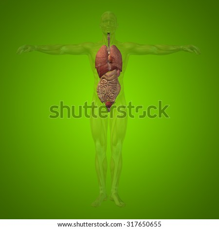 Conceptual 3D human man structure with internal organs,digestive,lungs and circulatory system on green background for anatomy, medical, body, stomach, medicine heart biology internal lungs care digest - stock photo