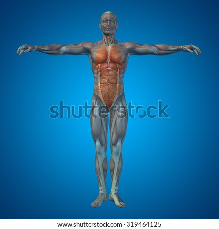 Conceptual 3D human man structure with internal organs,digestive,lungs and circulatory system on blue for anatomy, medical, colon, liver, body, stomach, medicine, intestine, biology, internal digest - stock photo