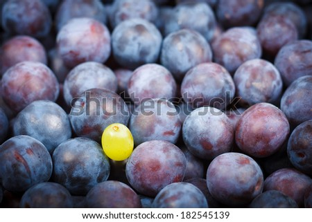 Conceptual Photograph of One Bright Grape Berry Standing Among the Dark Blue Plums - stock photo