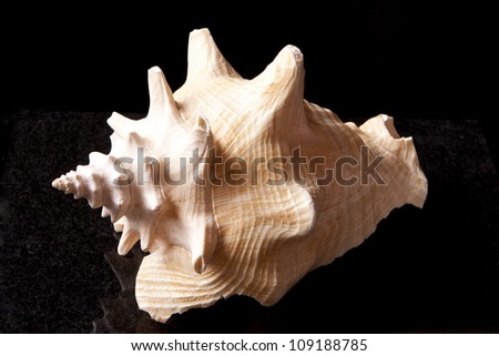 Conch Shell 4 - stock photo