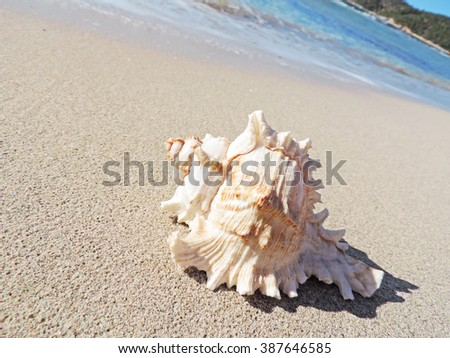 Conch shells at the beach, selective focus on the foreground with copy space. Sand and sea shell.