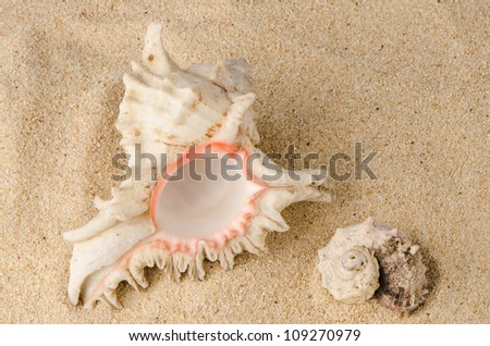 Conchs and shells on the beach sand background.