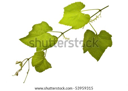 Concord grape vines isolated on white - stock photo