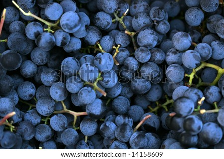 Concord Grapes Closeup - stock photo