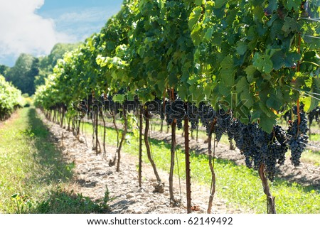 concord grapes on the vine - stock photo