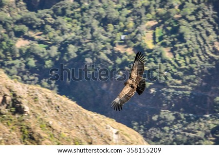 Condors flying over the cliffs in Colca Canyon, Peru