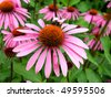 cone flower in field - stock photo