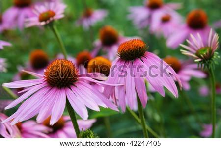 Cone flower plants - stock photo