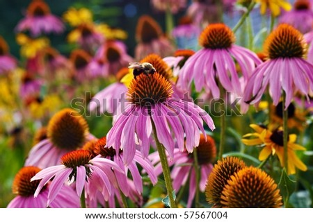 Cone flowers and a bee getting a drink - stock photo