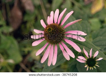 Cone-flowers (Echinacea purpurea) are used as a medicine in homeopathy and alternative medicine to enhance immune system - stock photo