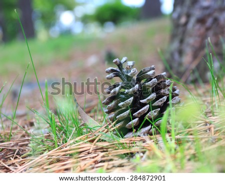 Cone from pine tree in Nature.