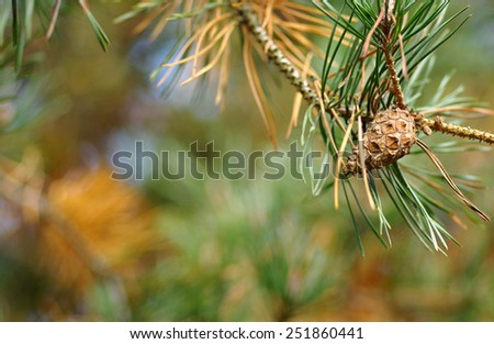 Cone on a pine tree in the wind  - stock photo