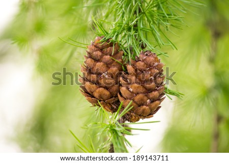 Cone on a tree on a background of pine tree - stock photo