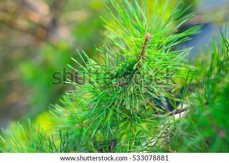 Cone on the branch of coniferous tree.