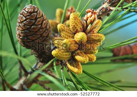 Cone on the tree. Element of design. - stock photo