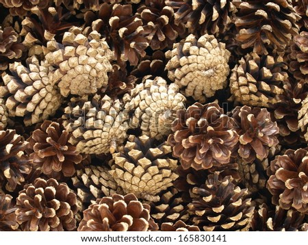 cones from a pine tree - stock photo