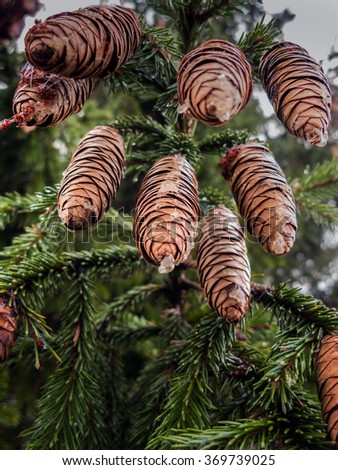 cones of a young fir-tree on a tree - stock photo