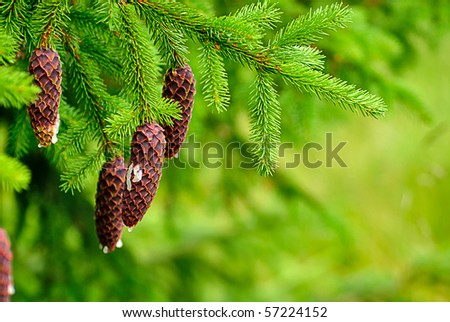Cones on pine with resin, shallow deep of field - stock photo