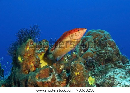 Coney (Cephalopholis fulva) on a Coral Reef - Cozumel, Mexico
