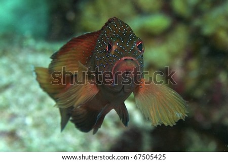 coney cod grouper - stock photo